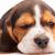 Beagle · мало · сонный · собака · черный - Сток-фото © master1305