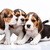 Beagle puppies on white background stock photo © master1305