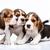 bigle · filhotes · de · cachorro · branco · três · cão · triste - foto stock © master1305