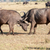 wild african buffalos kenya africa stock photo © master1305