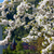 cherry blossoms against on a background of green mountains stock photo © master1305