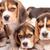 kopó · vadászkutya · kutya · portré · aranyos · néz - stock fotó © master1305