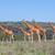 zsiráfok · nyáj · szavanna · vad · Kenya · Afrika - stock fotó © master1305
