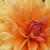 close up image of beautiful orange chrysanthemum stock photo © maxpro