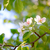 spring blossoming pear flowers on bright blurred background stock photo © maxpro