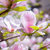 beautiful pink magnolia flowers spring background stock photo © maxpro