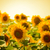 Field of Beautiful Bright Sunflowers at Sunset stock photo © maxpro