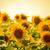 campo · belo · brilhante · girassóis · pôr · do · sol - foto stock © maxpro