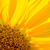 Close-up of Beautiful Bright Sunflower. Summer Flower Background. stock photo © maxpro