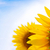 beautiful bright sunflowers against a blue sky stock photo © maxpro