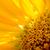 belo · brilhante · girassol · verão · flor - foto stock © maxpro