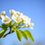 spring blossoming pear flowers on blurred blue background stock photo © maxpro