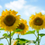 beautiful bright sunflowers against the blue sky stock photo © maxpro