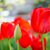 beautiful red tulips in field flower image with bright background stock photo © maxpro