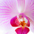 beautiful pink orchid flower isolated on the white background stock photo © maxpro