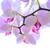 Beautiful Pink Orchid Flowers Isolated on the White Background stock photo © maxpro