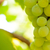 close up image of ripe bunche of white grapes on vine stock photo © maxpro