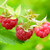 close up image of red ripe raspberries in the garden stock photo © maxpro