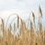 пшеницы · ушки · большой · фон · завода - Сток-фото © maxpro