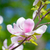 beautiful pink magnolia flowers on green background spring floral image stock photo © maxpro
