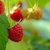 close up image of red ripe raspberries growing in garden stock photo © maxpro
