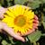 girassol · jovem · pote · brilhante · flores - foto stock © maxsol7