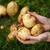 Potato harvesting stock photo © maxsol7