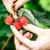 Raspberry picking stock photo © maxsol7