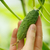 Tiny cucumber stock photo © maxsol7