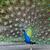 paon · queue · beauté · bleu · noir - photo stock © mblach