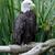 eagle stock photo © mblach