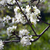 blooming apple tree branch on a background of the rural landscape stock photo © mcherevan
