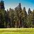 híres · nagy · óriásfenyő · fák · áll · park - stock fotó © meinzahn