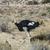 avestruz · fazenda · aves · belo · naturalismo - foto stock © meinzahn