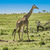 giraffe in masai mara national park stock photo © meinzahn