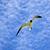 seagull is flying stock photo © meinzahn
