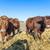 amichevole · bovini · paglia · cielo · blu · natura · mucca - foto d'archivio © meinzahn