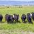 inekler · kuru · alan · gökyüzü · çim · manzara - stok fotoğraf © meinzahn