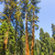 the famous big sequoia trees are standing in sequoia national park giant village area big famous stock photo © meinzahn