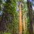 tall and big sequoias in beautiful sequoia national park stock photo © meinzahn