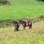 horses enjoy grazing on the  green meadow stock photo © meinzahn