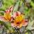 макроса · влажный · хризантема · бутон · сливочный - Сток-фото © meinzahn