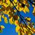 velho · carvalho · cair · brilhante · blue · sky · céu - foto stock © meinzahn