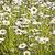 Ромашки · утра · необычный · красивой · цветок · семьи - Сток-фото © meinzahn