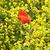poppy flower in rape field stock photo © meinzahn