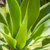 agave · planta · naturalismo · luz · solar · natureza · luz - foto stock © meinzahn