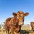 優しい · 牛 · わら · 青空 · 牛 · 動物 - ストックフォト © meinzahn