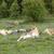 oroszlán · park · Kenya · Afrika · közelkép · macska - stock fotó © meinzahn
