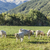 cows grazing at the meadow in the alpes stock photo © meinzahn