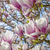 blooming magnolia tree under blue sky stock photo © meinzahn